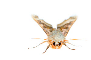RF - Angle shades moth (Phlogophora meticulosa). De Kaaistoep Nature Reserve, Tilburg, The Netherlands. April. Controlled conditions. (This image may be licensed either as rights managed or royalty fr...  -  Edwin Giesbers
