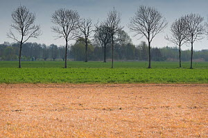 Field treated with glyphosate weedkiller to reset field in preparation for replanting, untreated field with trees in background. Veghel, North Brabant, The Netherlands, March 2019.  -  Edwin Giesbers