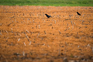 Carrion crow (Corvus corone), two walking amongst stubble treated with glyphosate weedkiller to reset field in preparation for replanting. Veghel, North Brabant, The Netherlands, March 2019.  -  Edwin Giesbers