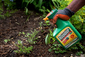 Gardener spraying Roundup, a glyphosate weedkiller. Honeybees are more likely to die from infection after glyphosate exposure. The Netherlands, May 2018.  -  Edwin Giesbers