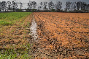 Field treated with glyphosate weedkiller to prepare field for replanting. Veghel, North Brabant, The Netherlands, March 2019.  -  Edwin Giesbers