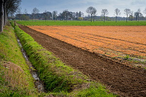 Field treated with glyphosate weedkiller, ditch running alongside. Veghel, North Brabant, The Netherlands, March 2019.  -  Edwin Giesbers