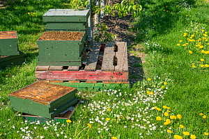 Beehive in orchard, Honeybees settling back into hive after swarm collection. Bees are used to pollinate fruit trees. Betuwe, The Netherlands, March 2019.  -  Edwin Giesbers