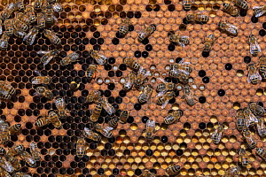 RF - Honeybee (Apis mellifera) colony on frame from beehive. Betuwe, The Netherlands, April. (This image may be licensed either as rights managed or royalty free.)  -  Edwin Giesbers