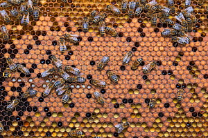 Honeybee (Apis mellifera) colony on frame from beehive. Betuwe, The Netherlands, April.  -  Edwin Giesbers
