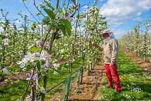 Blossoming fruit trees in commercial orchard, bee keeper in background removing swarming Honeybees. Betuwe, The Netherlands. April 2018.  -  Edwin Giesbers