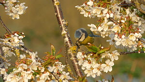 Blue tit (Cyanistes caeruleus) feeding amongst flowers of cherry tree, Bedfordshire, UK, April.  -  Brian Bevan