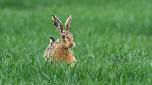Brown hare (Lepus europaeus) moving through field and feeding, Bedfordshire, UK, April.  -  Brian Bevan