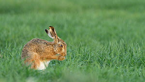 Brown hare (Lepus europaeus) grooming paws before settling down Bedfordshire, UK, April.  -  Brian Bevan