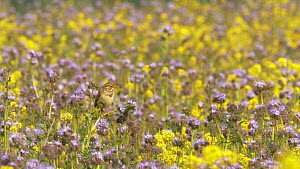 Corn bunting (Emberiza calandra) singing in flower field before flying away, Bedfordshire, UK, May.  -  Brian Bevan