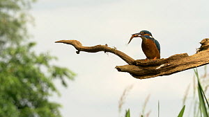 Kingfisher (alcedo atthis) catching and stunning fish before eating it on perch, Bedfordshire, UK, June.  -  Brian Bevan