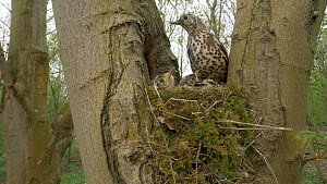 Mistle thrush (Turdus viscivorus) flying to nest, feeding young, eating fecal sac before flying away Bedfordshire, UK, April.  -  Brian Bevan