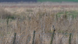 Short eared owl (Asio flammeus) perching on fence in field, Cambridgeshire, UK, March.  -  Brian Bevan