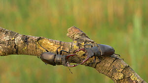 Pair of Male Stag beetle (Lunacus cervus) investigating each other on branch, Bedfordshire, UK, July.  -  Brian Bevan
