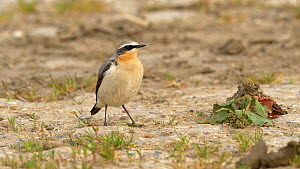 Northern wheatear (Oenanthe oenanthe) eating mealworm, Bedfordshire, UK, May.  -  Brian Bevan