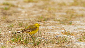 Male Yellow wagtail (Motacilla flava) preening and hiding from predators, Bedfordshire, UK, May.  -  Brian Bevan