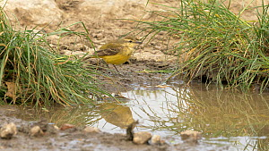 Female Yellow wagtail (Motacilla flava) drinking from puddle, Bedfordshire, UK, May.  -  Brian Bevan
