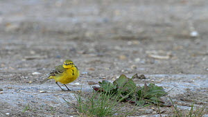 Male Yellow wagtail (Motacilla flava) wagging tail before leaving frame, Bedfordshire, UK, May.  -  Brian Bevan