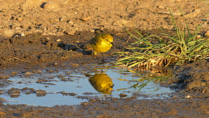 Male Yellow wagtail (Motacilla flava) drinking from puddle, Bedfordshire, UK, May.  -  Brian Bevan
