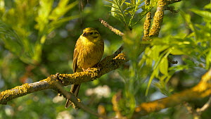 Yellowhammer (Emberiza citronella) perched on branch calling, Bedfordshire, UK, April.  -  Brian Bevan