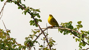 Yellowhammer (Emberiza citronella) singing from bramble patch, Bedfordshire, UK, April.  -  Brian Bevan