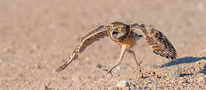 Burrowing owl (Athene cunicularia) young chick sprinting to meet parent arriving with food, Marana, Sonoran Desert, Arizona, USA.  Chick is approximately 3 weeks out of burrow.  -  Jack Dykinga