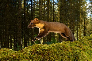 Pine marten (Martes martes) running over moss in coniferous forest. Loch Lomond and The Trossachs National Park, Scotland, UK. September. Camera trap image.  -  Terry Whittaker