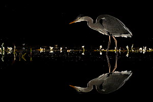 Grey heron (Ardea cinerea) wading at night, reflected in water. Lincolnshire, UK, September.  -  Danny Green