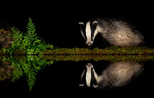 European badger (Meles meles) and reflection  woodland pond at night. Scotland, UK. August.  -  Danny Green