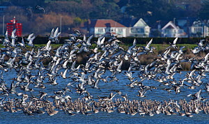 Black-tailed godwit (Limosa limosa) taking off from a high tide roost in a shallow lagoon on Brownsea Island, with Poole in the background, Poole Harbour, Dorset, UK, December.  -  Nick Upton
