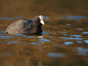 Coot (Fulica atra) swimming on a lake low winter sunshine, Wiltshire, UK, December.  -  Nick Upton