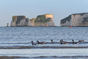 Brent goose (Branta bernicla) group swimming in the sea just offshore to access Sea grass beds (Zostera marina) as they become exposed on a falling tide with Old Harry's Rocks in the background, Studl...  -  Nick Upton