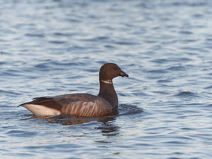 Brent goose (Branta bernicla) swimming in the sea just offshore to access Sea grass beds (Zostera marina) as they become exposed on a falling tide, Studland Bay, Dorset, UK, December.  -  Nick Upton