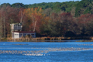 Wading birds, mostly Black-tailed godwits (Limosa limosa) and Avocets (Recurvirostra avosetta) roosting in a shallow lagoon at high tide overlooked by a bird hide, Brownsea Island, Poole Harbour, Dors...  -  Nick Upton