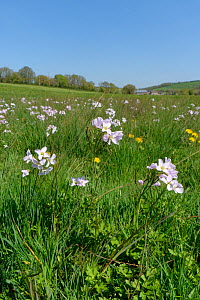 Cuckoo flower / Lady's smock (Cardamine pratensis) clump flowering on a marshy water meadow, Wiltshire, UK, April.  -  Nick Upton