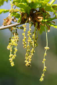 English / Pedunculate oak (Quercus robur) flowers and newly opened leaves, Wiltshire, UK, April.  -  Nick Upton