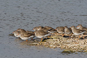 Common redshank (Tringa totanus) group roosting on the margins of a marshland pool at high tide on a windy day, Gloucestershire, UK, February.  -  Nick Upton