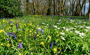Bluebells (Hyacinthoides non-scripta), Lesser celandines (Ranunculus ficaria) and Wood anemones (Anemone nemorosa) flowering in profusion in woodland understory, Wiltshire, UK, April.  -  Nick Upton