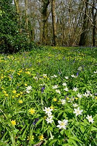 Wood anemones (Anemone nemorosa), Lesser celandines (Ranunculus ficaria) and Bluebells (Hyacinthoides non-scripta) flowering in profusion in woodland understory, Wiltshire, UK, April.  -  Nick Upton