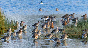 Black-tailed godwit (Limosa limosa) group roosting, foraging and preening in the marshy margins of a shallow lake, Gloucestershire, UK, February.  -  Nick Upton