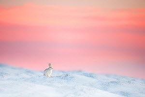 Mountain hare (Lepus timidus) on snow covered moorland at last light, Derbyshire, UK.  -  Ben Hall