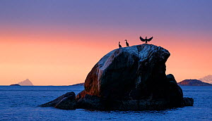 A group of European shags (Phalacrocorax aristotelis) resting on a rock. Coast of Troms, Northern Norway.  -  Espen Bergersen