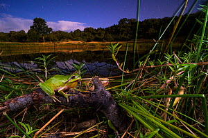 Stripeless tree frog (Hyla meridionalis), male calling by a pond at night, Languedoc Roussillon, France.  -  Emanuele Biggi