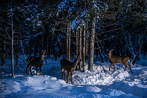 White-tailed deer (Odocoileus virginianus) gather in the forest at dusk in New Brunswick, Canada.  -  Jen Guyton