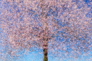 Multiple exposure of a cherry tree (Prunus sp) in blossom. Potsdam, Germany. April. Created using 10 exposures.  -  Sandra Bartocha