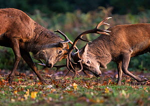 Red Deer (Cervus elaphus) stags fighting during the rutting season. Bushy Park, London, UK. October.  -  Tony Heald