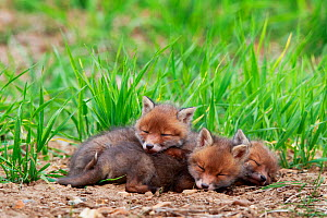 Red fox (Vulpes vulpes) cubs, three sleeping near den. Yonne, France. May.  -  Cyril Ruoso