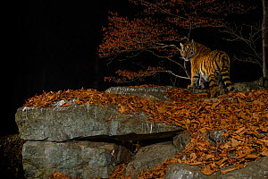 Siberian tiger (Panthera tigris altaica) at night, taken with remote camera in Land of the Leopard National Park, Far East Russia, November.Highly Commended in the Animal Portraits Category of the Wil...  -  Sergey  Gorshkov