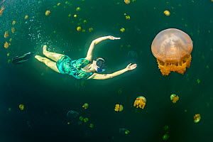Snorkeller swimming with Stingless golden jellyfish (Mastigias sp.) in a landlocked marine lake in the middle of an island. Their golden colour comes from endosymbiotic algae, which provide nutrition...  -  Alex Mustard