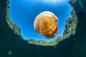 Stingless golden jellyfish (Mastigias sp.) in a landlocked marine lake in the middle of an island. Their golden colour comes from endosymbiotic algae, which provide nutrition for the medusae, as long...  -  Alex Mustard
